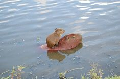 That's a good Capybara mama