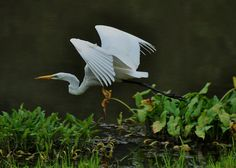 Morning Flight Egret.  One of my favorites. Photo by Paul Lyndon Phillips