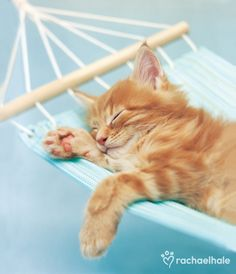Brian (Red maine coon) - Brian loves to laze the days away on his hammock.  (pic by Rachael Hale)