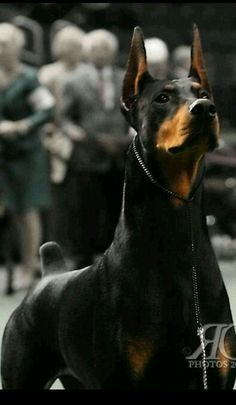 The Doberman Pinscher is among the most popular breed of dogs in the world. Known for its intelligence and loyalty, the Pinscher is both a police- favorite Beautiful Dogs, Animals Beautiful, Cute Animals, Rottweiler, I Love Dogs, Cute Dogs, Doberman Love, Black Doberman, Doberman Pinscher Dog