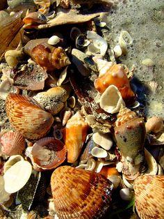Shelling at South Seas Island Resort, Captiva Island, FL