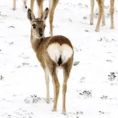 Deer with a Big Heart love animals heart snow deer baby animals wildlife cute animals Beautiful Creatures, Animals Beautiful, Beautiful Images, Cute Baby Animals, Funny Animals, Wild Animals, Heart In Nature, Tier Fotos, Oh Deer