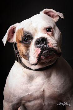American Bulldogs, English Bulldogs, French Bulldog, Bullies, Best Dogs, Animals And Pets, Pitbulls, Creatures, Pets
