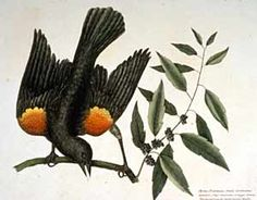 The Tale of the Red-winged Blackbird : The Colonial Williamsburg Official History & Citizenship Site