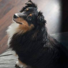 My darling angel. #dog #dog #puppy #pup #cute #eyes #instagood #dogs_of_instagram #pet #pets #animal #animals #petstagram #petsagram #dogsitting #photooftheday #dogsofinstagram #ilovemydog #instagramdogs #nature #dogstagram #dogoftheday #lovedogs #lovepuppies #hound #adorable #doglover #instapuppy #instadog #shetlandsheepdog #sheltie #puppy