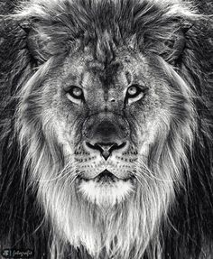 """portrait of a lion zoo chicago <a href=""""https://photographybyjb.wordpress.com"""">MORE AWESOME PHOTOS ON MY WEBSITE</a>"""