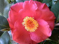 Camellia 'Gun Smoke'