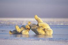 Polar Bears Rolling