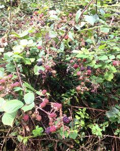 At first just one a glossy purple clot Among others red green hard as a knot. #seamusheaney #blackberry #hedge #walk #westwales #pembrokeshire