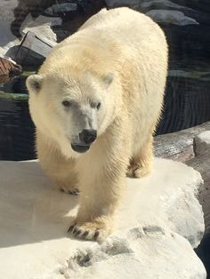 Polar Bear #seaworld