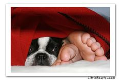 Boston Terrier Photo of the Week Caption Contest Winners - Molly ( Junior loves toes)