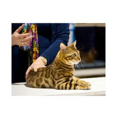Persian cat breeders brisbane
