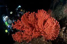 gorgonian coral | Gorgonian coral, Mozino Point,Nootka sound, British Columbia. Nikon ...