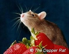 Tips for photographing pet rats (could apply to any small pets)