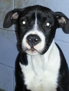 Meet Kane, a Petfinder adoptable Pit Bull Terrier Dog | Commerce, TX | Kane is a young guy really needing a new home.  He seems to be a nice young guy who is a little...