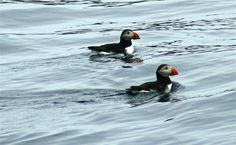 Puffins in Witless Bay, Newfoundland. Newfoundland, My Photos, Beautiful Places, Bird, Animals, Ireland, Animales, Animaux, Birds