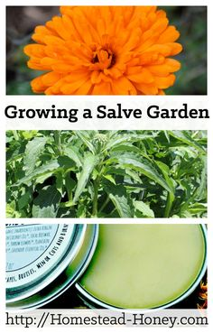 Grow a salve garden full of healing herbal plants that are both medicinal and beautiful. Here are five easy to grow plants for your salve garden. | Homestead Honey