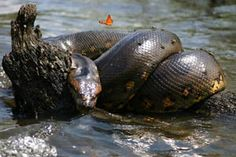 Green Anaconda by Taylor - ThingLink Green Anaconda, Snakes, Reptiles, Scene, Image, Animals, Naturaleza, Life, A Snake