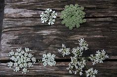 Belles ombelles / Beautiful umbels – Clockwise from top left: White Lace Flower (Orlaya grandiflora), Toothpickweed (Ammi visnaga), Common Hogweed (Heracleum sphondylium), Cow Parsley or Wild Chervil (Anthriscus sylvestris), Queen Anne's Lace or Wild Carrot (Daucus carota)
