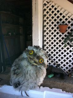 This owl... needs help in remembering to take her medication.