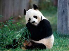 El Oso Panda | Dignarodriguez's Weblog