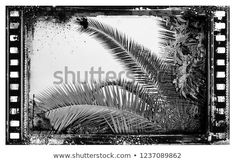 Silhouette of palm trees at sunset, vintage filter Black and White Palm Tree Sunset, Palm Trees, Vintage Filters, Silhouette, Black And White, Image, Black White, Black N White, Palms