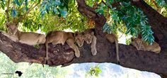 Home Alone - Lion Cub's in tree - We found 9 cubs alone whilst pride was on a hunt, these four spread out on a branch watching us Lion Cub, Home Alone, Cat 2, Big Cats, Cubs, Lions, Panther, Animal Pictures, Wildlife