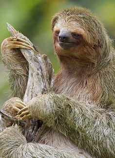 """Three-toed Sloth, Amazon.  From my Facebook page """"Animals are Awesome"""". Animals, Wildlife, Pictures, Photography, Beautiful, Cute."""