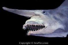 The 8th Largest Shark: Goblin shark (Mitsukurina owstoni) 20.24 feet via @Discovery Channel Channel @Amanda Mason Week