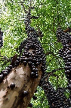 Brazilian Grape Tree (also known as Jabuticaba) does not use branches to grow fruits. It grows fruits (and flowers) directly on the trunk.