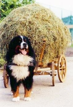 Looks like a big load, but doing what they were bred to do. Bernese Mountain Dog <3