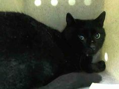 PULLED BY STATEN ISLAND HOPE RESCUE - TO BE DESTROYED 4/8/15 *NYC* HANDSOME PANTHER KITTY! * Manhattan Center * Alturo has been afraid while at the shelter, but has not been at all aggressive. Alturo allows the stroke. My name is ALTURO. My Animal ID # is A1031873. I am a male black dom sh mix. I am about 2 YEARS 04/01/2015 OWN EVICT.