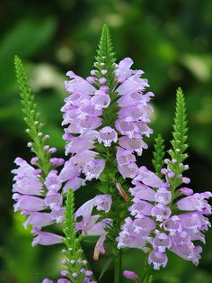 Physostegia Virginiana - Also called 'Obedient Plant' because you can re-arrange the flowers from side to side and they'll stay put!