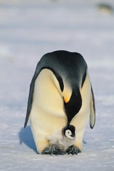 Emperor penguin moms and dads alternate roles while raising a chick, one will hunt for food while they other stays at the breeding site to keep the baby warm and safe.