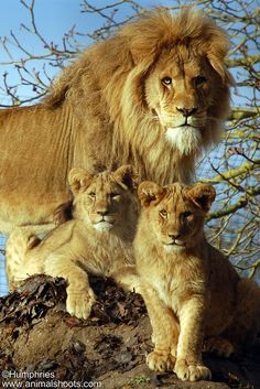 A beautiful family of lions.
