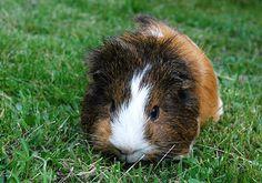 litter train a Guinea pig