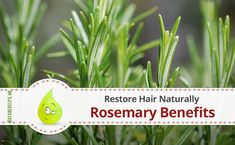 Rosemary Benefits to Restore Hair Naturally  Rosemary oil proved to be effective in hair care, that's why the producers of famous brand hair products include this oil as an active component. But there are simple ways to use rosemary for hair at home.  #nature #health #remedies #herbal #Organic #homemade #mask #natural #beauty #herbs #diy #cosmetics #beauty #oils #essential