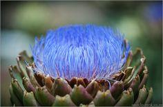 Stunning photo of an artichoke. This photo was taken in Cape Town from Karen Kriedemann