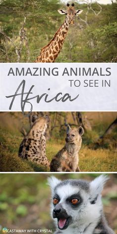 What animals can you see in Africa?   Where to go to see wild animals in Africa   How to see lions in Tanzania   How to see a cheetah in Zimbabwe   Where to see giraffes   How to see rhinos in South Africa   The big 5 of Africa   #Animals #Africa #Safari #cheetah #giraffe #gorilla #hippo #lemur #Uganda #Zimbabwe #wild #Savannah via @CastawayCrystal