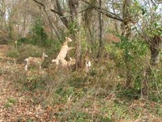 Goats Used in Ecological Restoration... to eat and destroy invasive plant species, I have also heard they are great for clearing land prior to putting in a large garden (much less damaging to soil than mechanized equipment)... http://nativeplantwildlifegarden.com/goats-in-ecological-restoration/