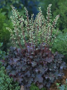 Heuchera 'Prince' - Trykk på bildet for å lukke Fall Plants, Foliage Plants, Shade Plants, Garden Plants, Moon Garden, Dream Garden, Back Gardens, Outdoor Gardens, Front Yard Flowers