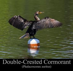 Double Crested Cormorant  by Chris Flees @chrisflees  This is an image of a Double Crested Cormorant (Phalacrocorax auritus) perched on a buoy.  photograph photography nature wildlife bird