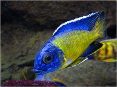 Blue Neon Cichlid   Blue Neon