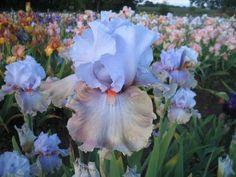 and style arms light blue (M&P F. Iris Garden, Garden Plants, Iris Flowers, Pretty Flowers, Bearded Iris, Most Beautiful Flowers, Tulips, Dahlias, Blue Bird