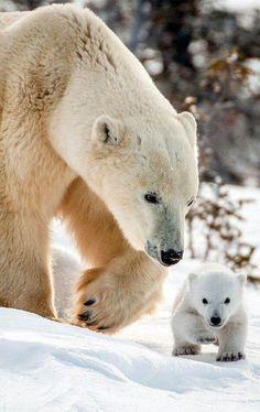 Mama polar bear and baby