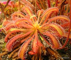 Drosera capensis - Cape Sundew- for your garden.