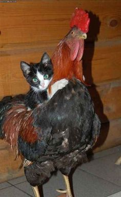Step 12: Look at this cat riding a rooster.