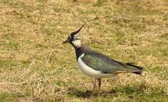 Lapwing, green plover or peewit, call it what you will it's herald of spring up on the moors.  Research by GWCT show that English grouse moors are havens for threatened wader species such as lapwing and golden plover. (although this one is on white moor rather than purple!)