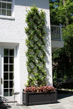 Evergreen vine trained up an exterior brick wall.
