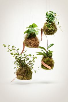 """Vining String Garden -- $32.00 -- These vining jungle cactus string gardens feature our take on the Japanese kokedama -- a type of bonsai that is growing ever popular. Kokedama simply translated is """"moss ball"""